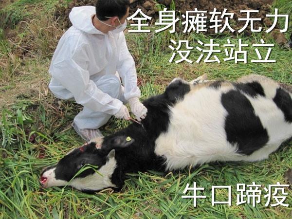 牛口蹄疫防治,中国养殖人论坛 Powered by Discuz